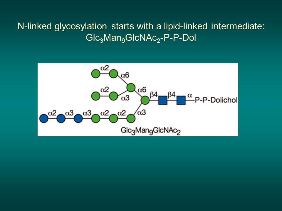 N-linked glycosylation starts with a lipid-linked intermediate: Glc 3 Man 9 GlcNAc 2 -P-P-Dol