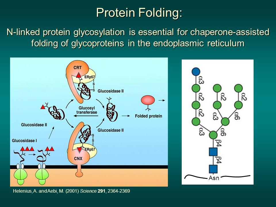 Protein Folding: N-linked protein glycosylation is essential for chaperone-assisted folding of glycoproteins in the endoplasmic reticulum Helenius, A.