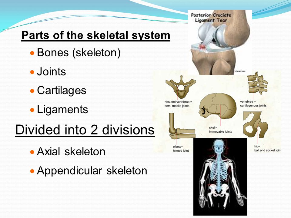 Parts of the skeletal system  Bones (skeleton)  Joints  Cartilages  Ligaments Divided into 2 divisions  Axial skeleton  Appendicular skeleton