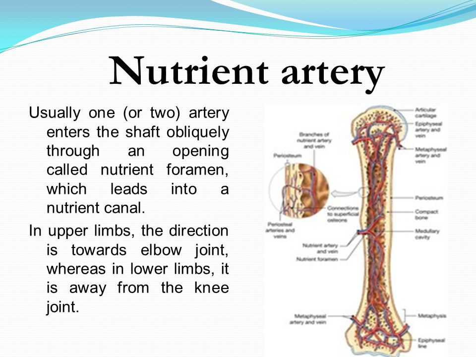 Nutrient artery Usually one (or two) artery enters the shaft obliquely through an opening called nutrient foramen, which leads into a nutrient canal.