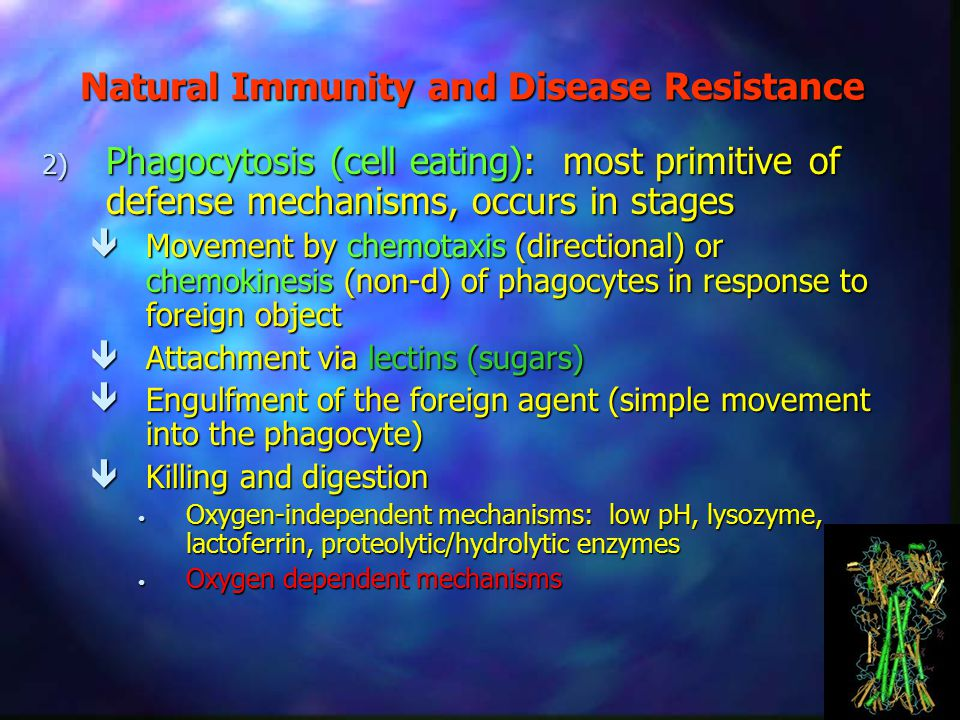Natural Immunity and Disease Resistance 2) Phagocytosis (cell eating): most primitive of defense mechanisms, occurs in stages  Movement by chemotaxis