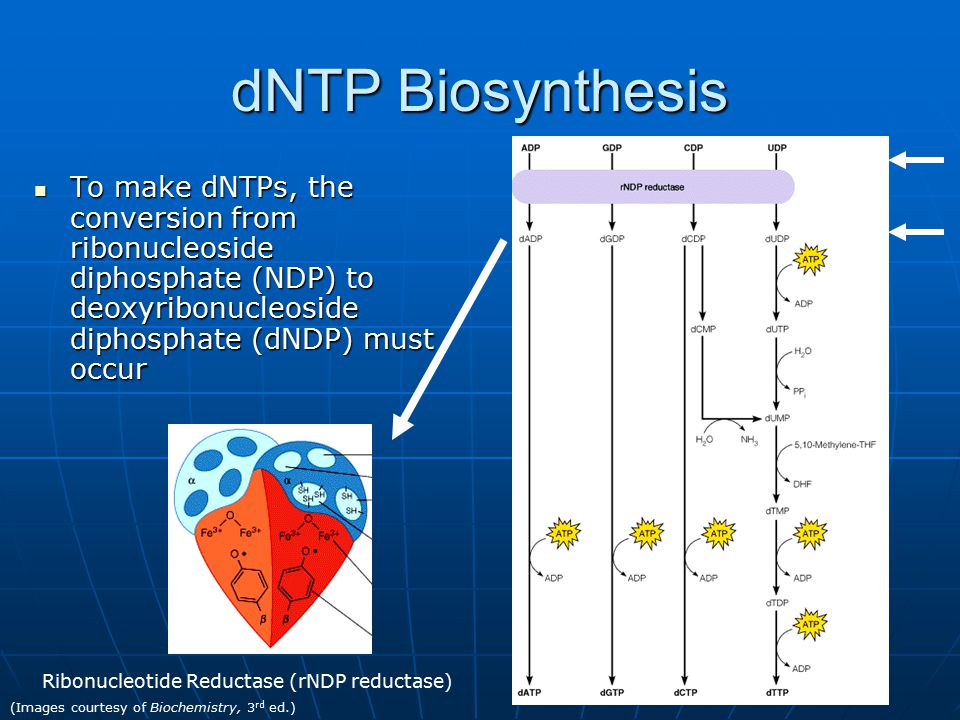 dNTP Biosynthesis To make dNTPs, the conversion from ribonucleoside diphosphate (NDP) to deoxyribonucleoside diphosphate (dNDP) must occur To make dNTPs, the conversion from ribonucleoside diphosphate (NDP) to deoxyribonucleoside diphosphate (dNDP) must occur Ribonucleotide Reductase (rNDP reductase) (Images courtesy of Biochemistry, 3 rd ed.)