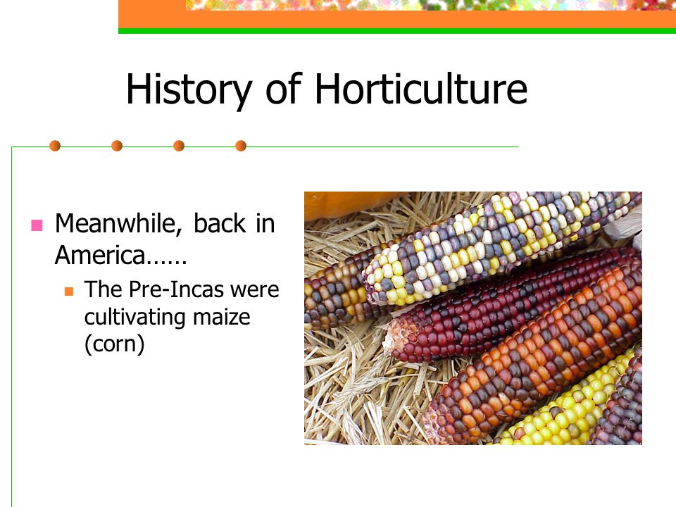 History of Horticulture Meanwhile, back in America…… The Pre-Incas were cultivating maize (corn)
