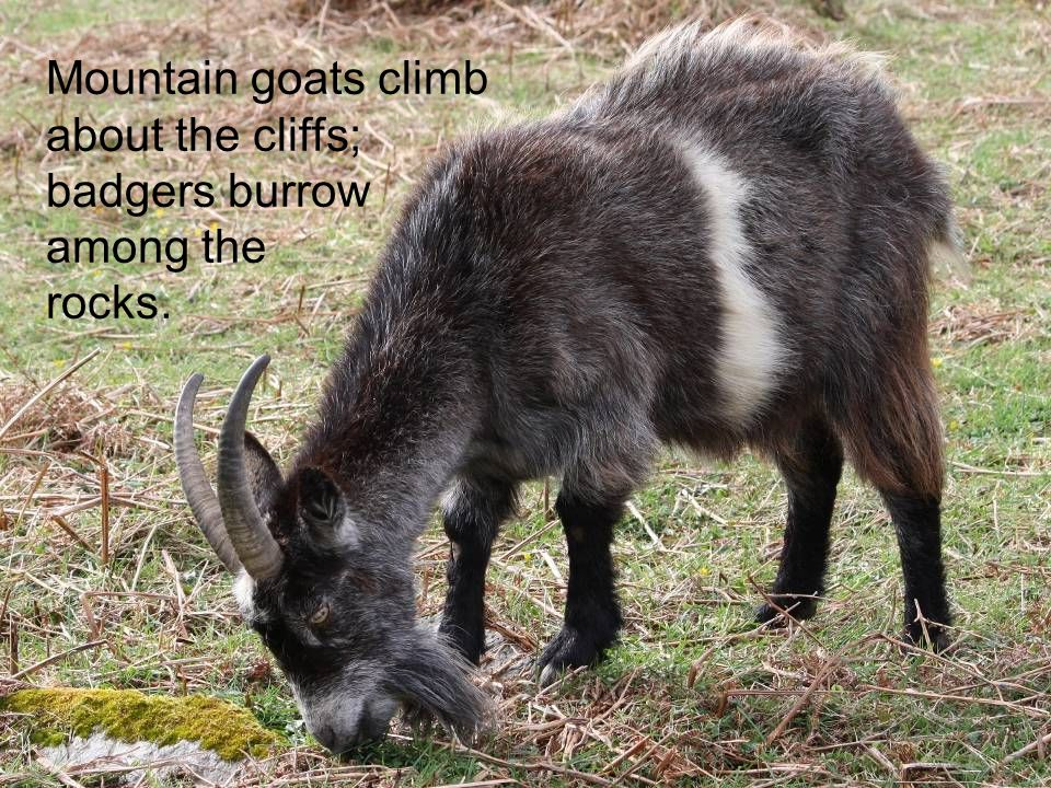 Mountain goats climb about the cliffs; badgers burrow among the rocks.