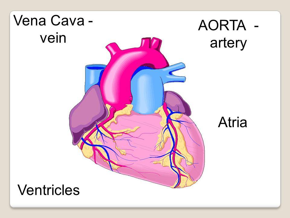 AORTA - artery Vena Cava - vein Atria Ventricles