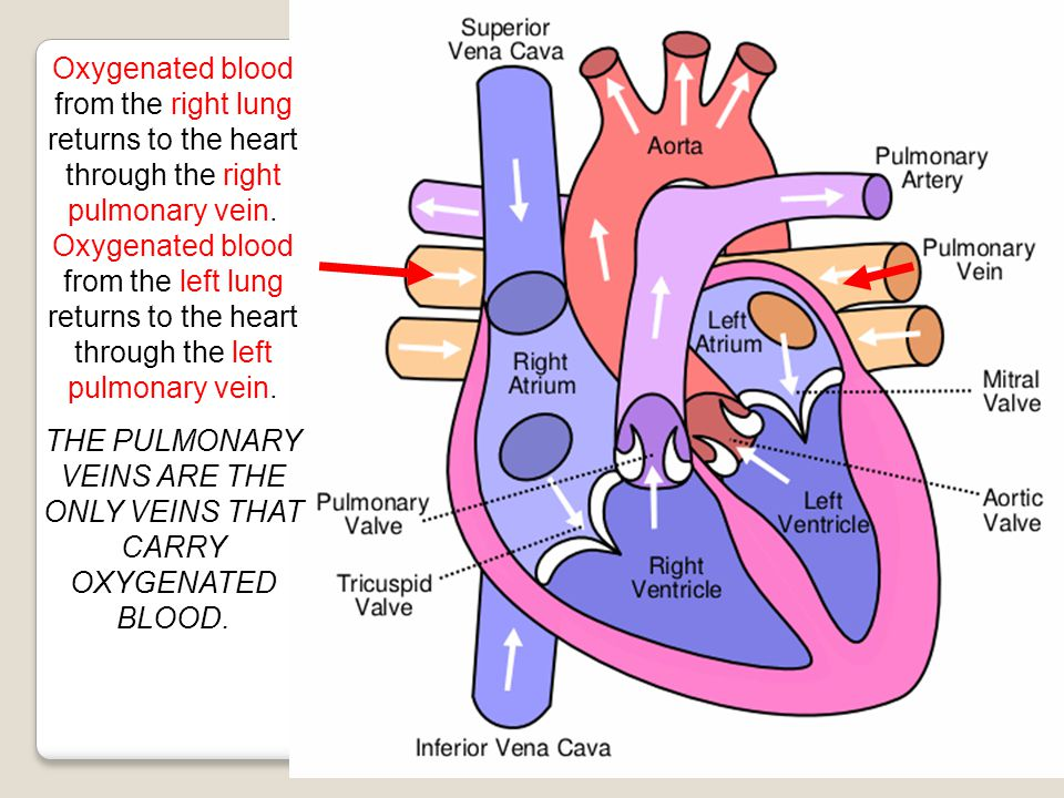 Oxygenated blood from the right lung returns to the heart through the right pulmonary vein. Oxygenated blood from the left lung returns to the heart t