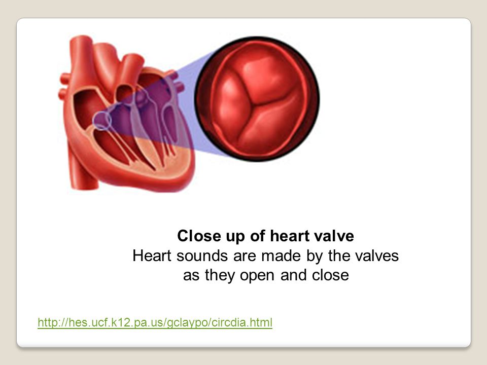 Close up of heart valve Heart sounds are made by the valves as they open and close http://hes.ucf.k12.pa.us/gclaypo/circdia.html