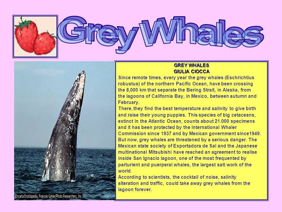 GREY WHALES GIULIA CIOCCA Since remote times, every year the grey whales (Eschrichtius robustus) of the northern Pacific Ocean, have been crossing the