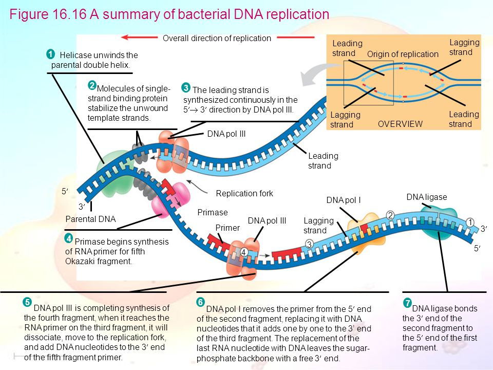 Figure 16.16 A summary of bacterial DNA replication Overall direction of replication Helicase unwinds the parental double helix.