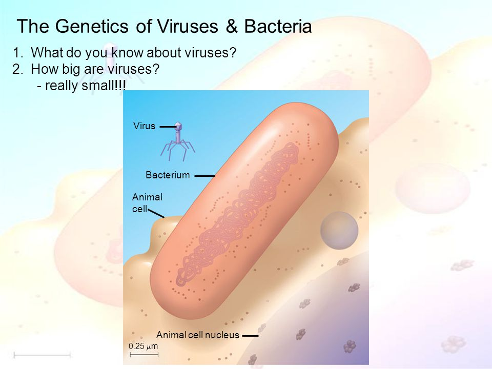 The Genetics of Viruses & Bacteria 1.What do you know about viruses.