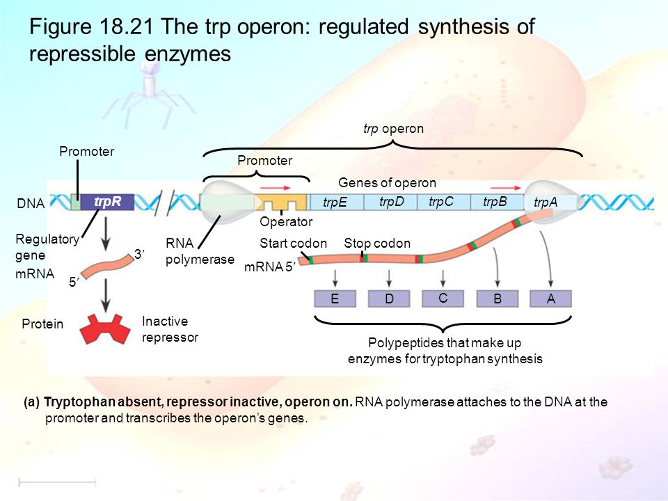 Figure 18.21 The trp operon: regulated synthesis of repressible enzymes (a) Tryptophan absent, repressor inactive, operon on.