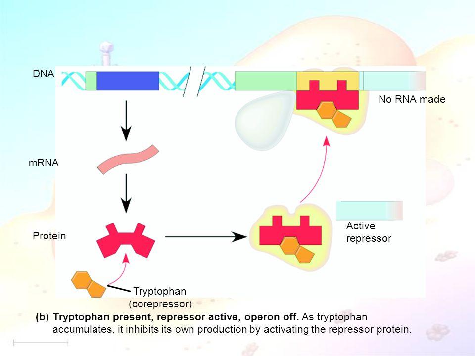 DNA mRNA Protein Tryptophan (corepressor) Active repressor No RNA made Tryptophan present, repressor active, operon off.