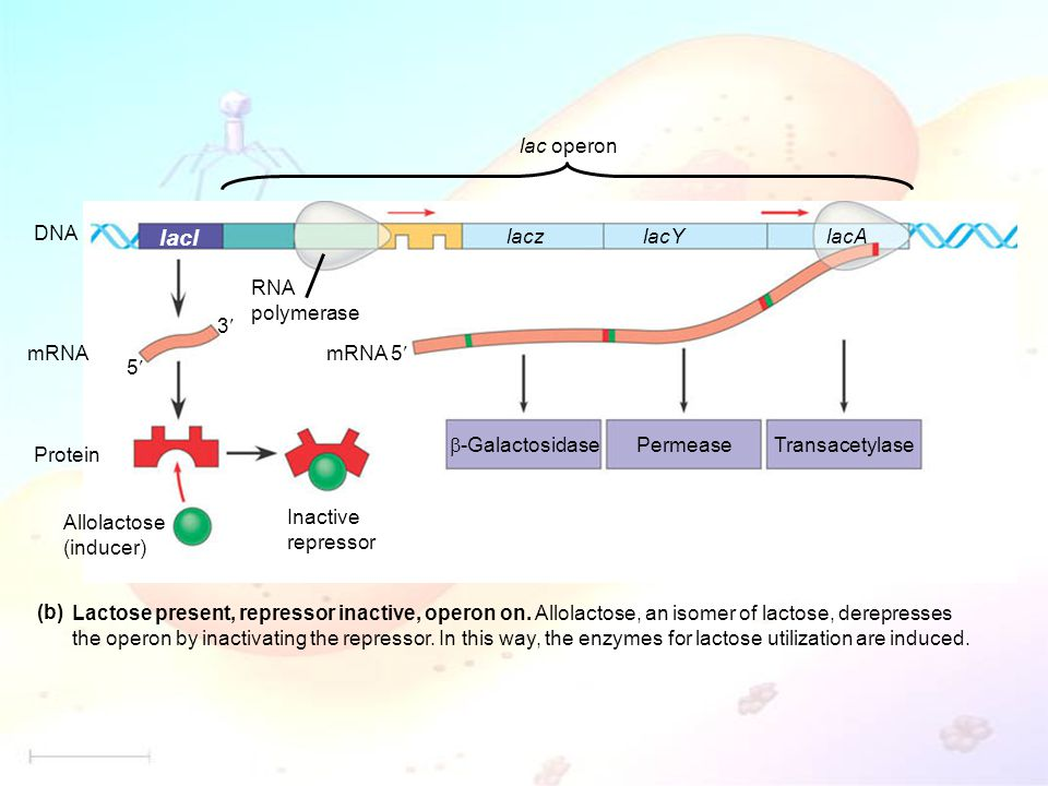 mRNA 5 DNA mRNA Protein Allolactose (inducer) Inactive repressor lacl lacz lacYlacA RNA polymerase PermeaseTransacetylase  -Galactosidase 5 3 (b) Lactose present, repressor inactive, operon on.