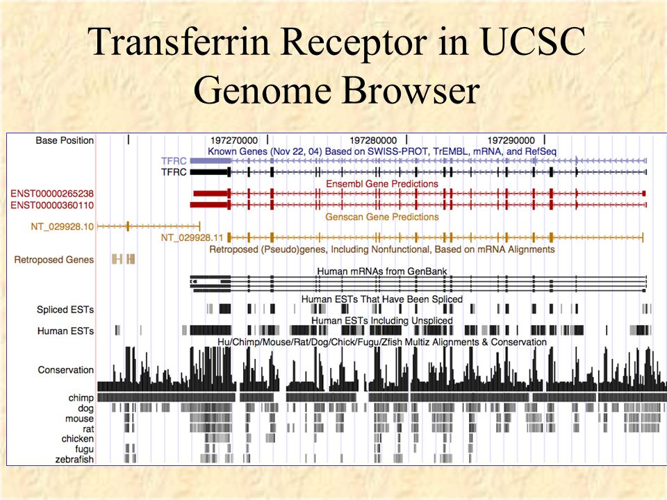 Transferrin Receptor in UCSC Genome Browser