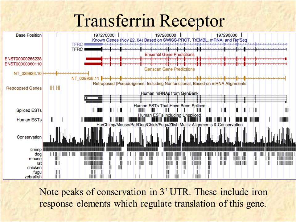 Transferrin Receptor Note peaks of conservation in 3' UTR.