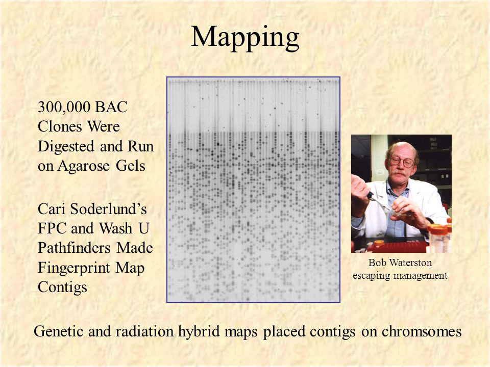 Mapping 300,000 BAC Clones Were Digested and Run on Agarose Gels Cari Soderlund's FPC and Wash U Pathfinders Made Fingerprint Map Contigs Genetic and radiation hybrid maps placed contigs on chromsomes Bob Waterston escaping management