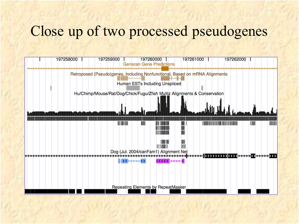 Close up of two processed pseudogenes