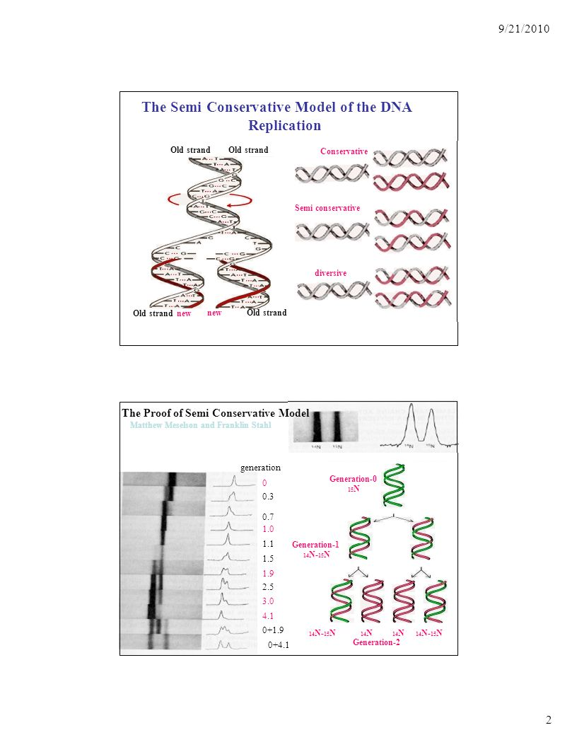 2 9/21/2010 The Semi Conservative Model of the DNA Replication new Old strand Old strand new Old strand Conservative Semi conservative diversive The Proof of Semi Conservative Model Matthew Meselson and Franklin Stahl generation 0 0.3 0.7 1.0 1.1 1.5 1.9 2.5 3.0 4.1 0+1.9 0+4.1 Generation-0 15 N Generation-1 14 N- 15 N 14 N 14 N- 15 N Generation-2