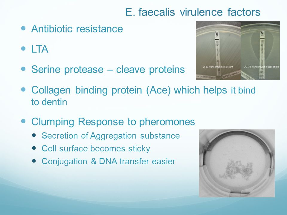 E. faecalis virulence factors Antibiotic resistance LTA Serine protease – cleave proteins Collagen binding protein (Ace) which helps it bind to dentin