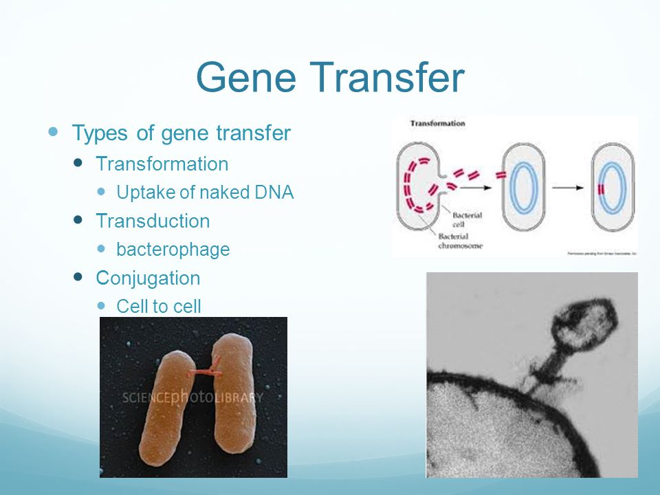 Gene Transfer Types of gene transfer Transformation Uptake of naked DNA Transduction bacterophage Conjugation Cell to cell
