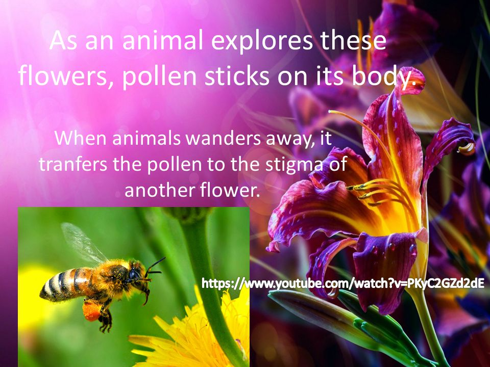 As an animal explores these flowers, pollen sticks on its body. When animals wanders away, it tranfers the pollen to the stigma of another flower.