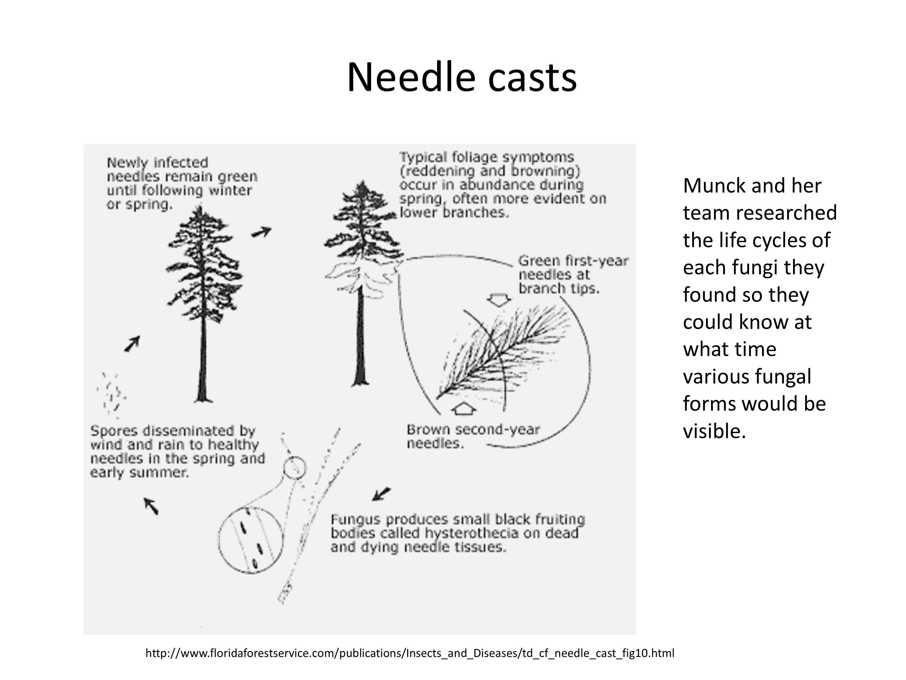 Needle casts http://www.floridaforestservice.com/publications/Insects_and_Diseases/td_cf_needle_cast_fig10.html Munck and her team researched the life cycles of each fungi they found so they could know at what time various fungal forms would be visible.