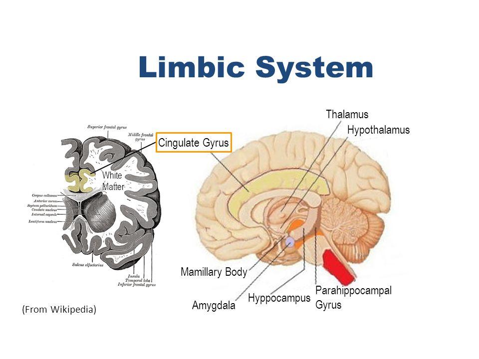 (From Wikipedia) Cingulate Gyrus Thalamus Hypothalamus Parahippocampal Gyrus Hyppocampus Amygdala Mamillary Body Limbic System White Matter