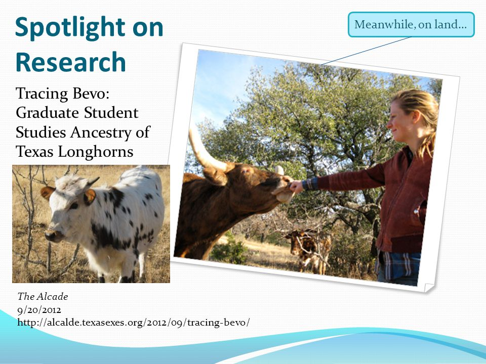Spotlight on Research Tracing Bevo: Graduate Student Studies Ancestry of Texas Longhorns The Alcade 9/20/2012 http://alcalde.texasexes.org/2012/09/tra
