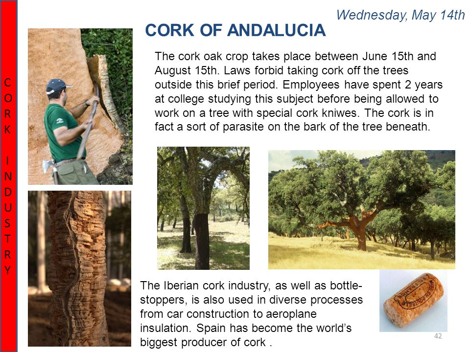 Wednesday, May 14th 42 CORK OF ANDALUCIA CORK INDUSTRYCORK INDUSTRY The cork oak crop takes place between June 15th and August 15th. Laws forbid takin