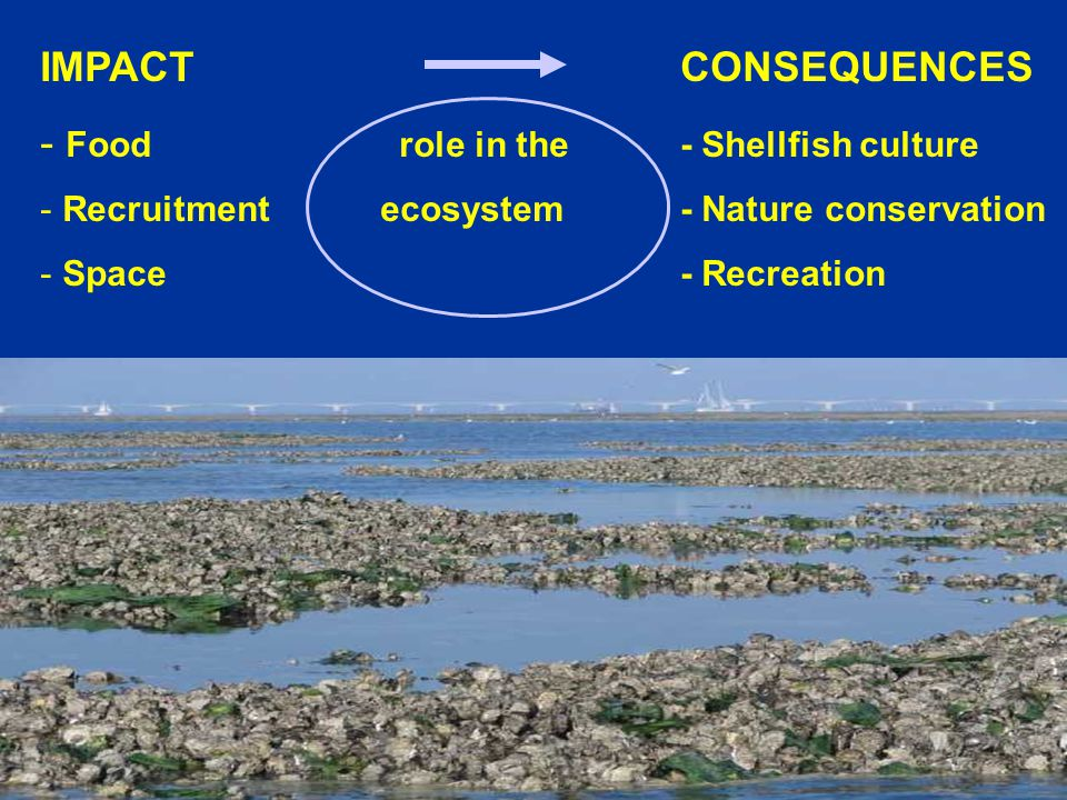 Centre for Shellfish research IMPACT CONSEQUENCES - Food role in the- Shellfish culture - Recruitment ecosystem- Nature conservation - Space- Recreati