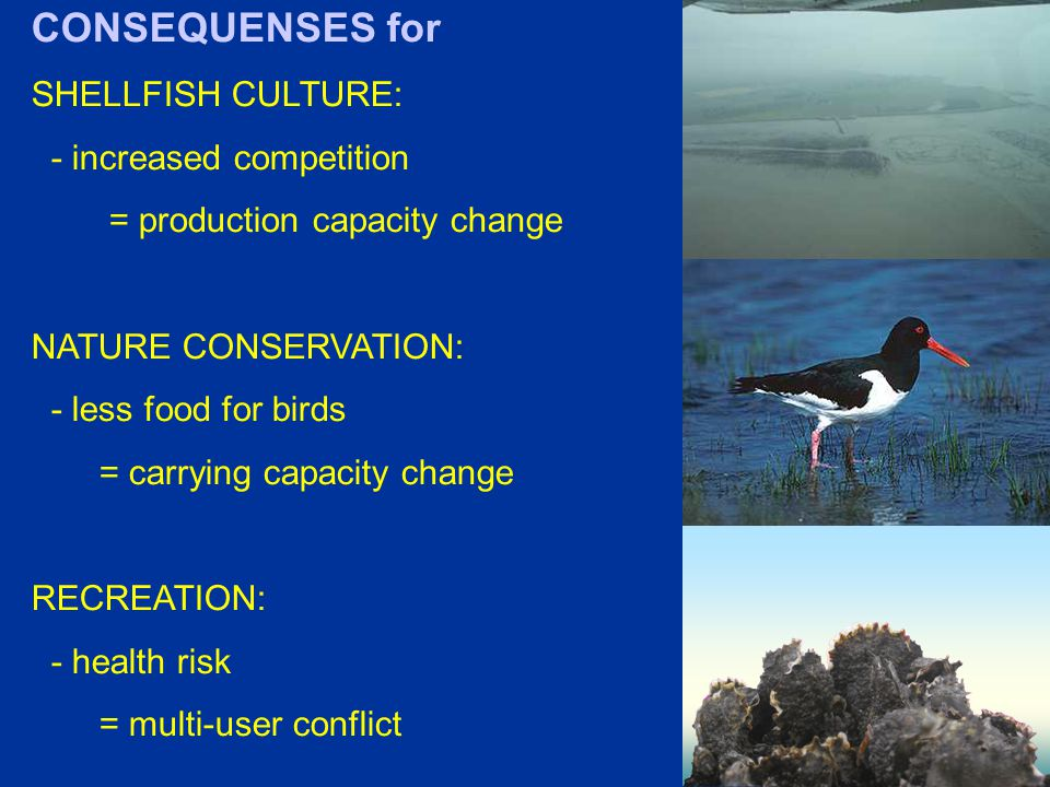 CONSEQUENSES for SHELLFISH CULTURE: - increased competition = production capacity change NATURE CONSERVATION: - less food for birds = carrying capacity change RECREATION: - health risk = multi-user conflict