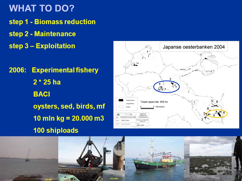 WHAT TO DO? step 1 - Biomass reduction step 2 - Maintenance step 3 – Exploitation 2006: Experimental fishery 2 * 25 ha BACI oysters, sed, birds, mf 10