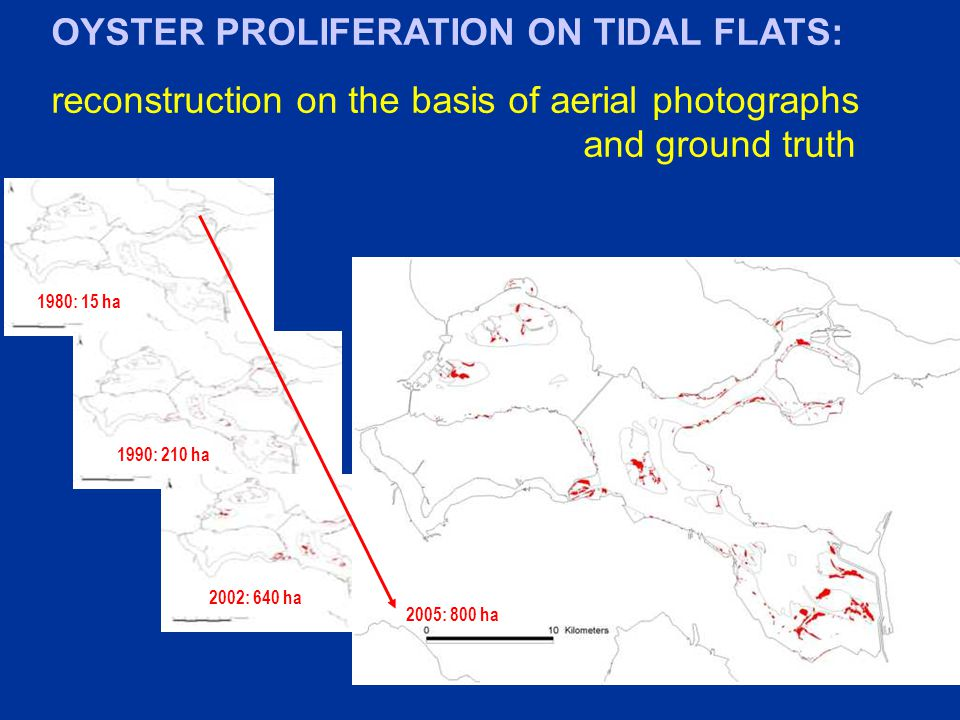 1980: 15 ha 1990: 210 ha 2002: 640 ha 2005: 800 ha OYSTER PROLIFERATION ON TIDAL FLATS: reconstruction on the basis of aerial photographs and ground truth
