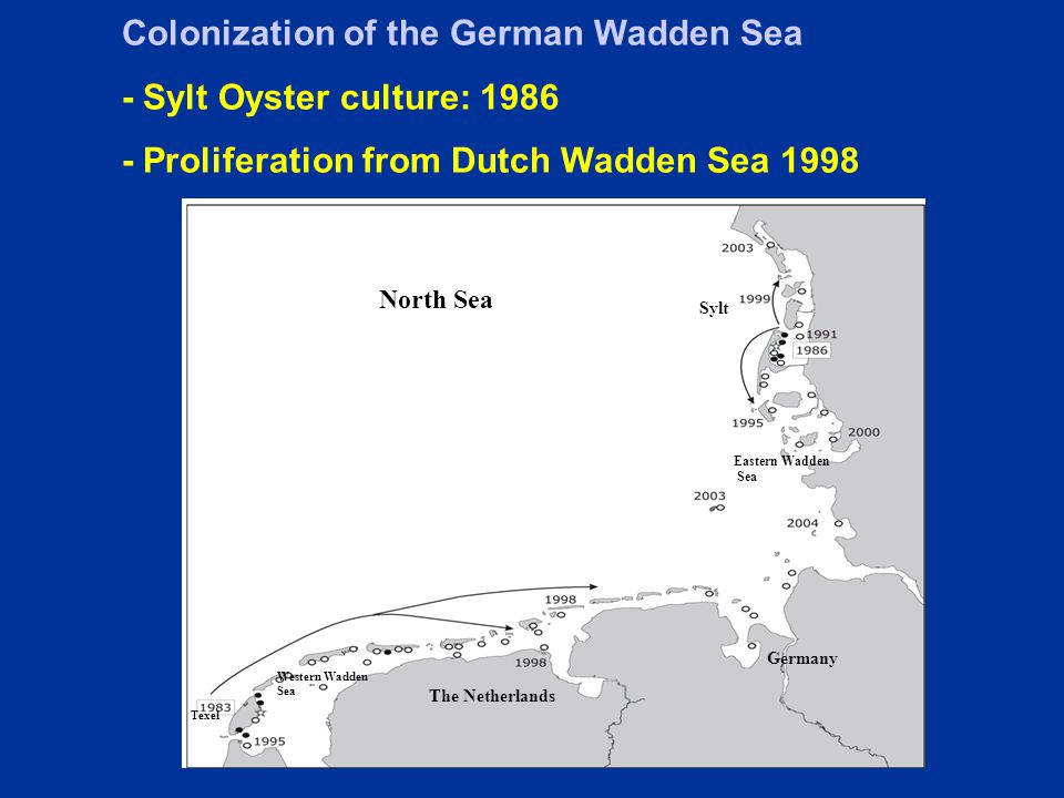 North Sea Texel Sylt Eastern Wadden Sea Western Wadden Sea The Netherlands Germany Colonization of the German Wadden Sea - Sylt Oyster culture: 1986 - Proliferation from Dutch Wadden Sea 1998