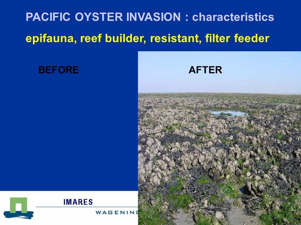 Centre for Shellfish research BEFOREAFTER PACIFIC OYSTER INVASION : characteristics epifauna, reef builder, resistant, filter feeder
