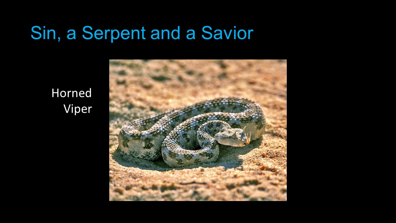 Sin, a Serpent and a Savior Horned Viper
