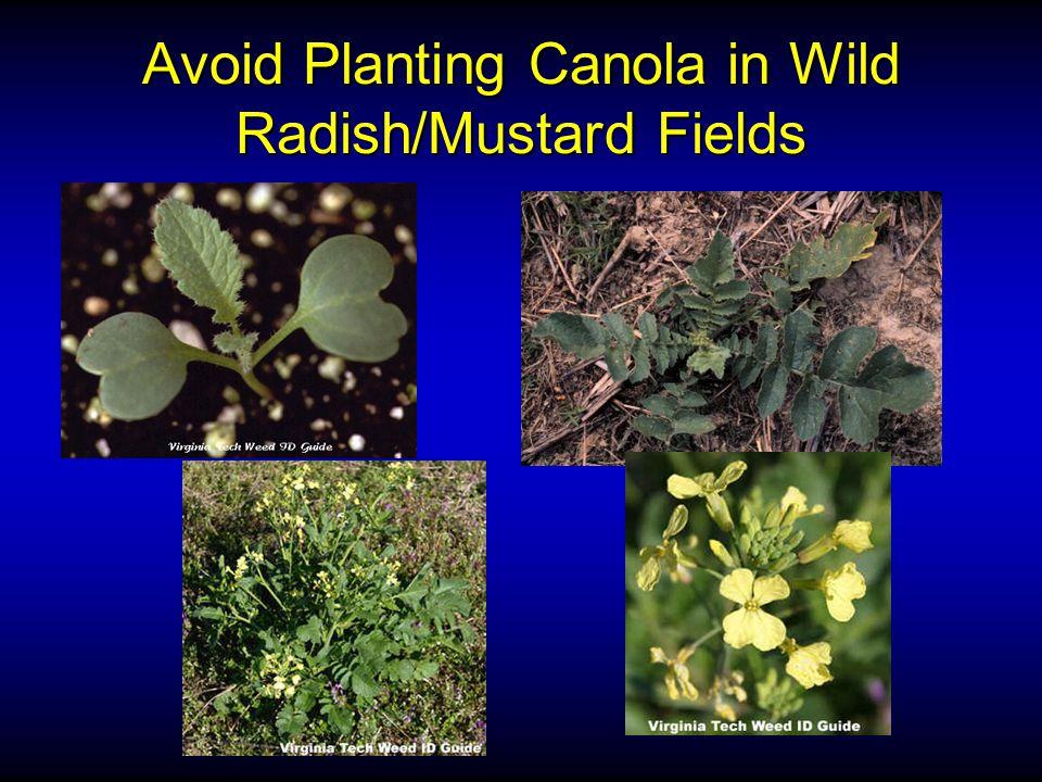 Avoid Planting Canola in Wild Radish/Mustard Fields