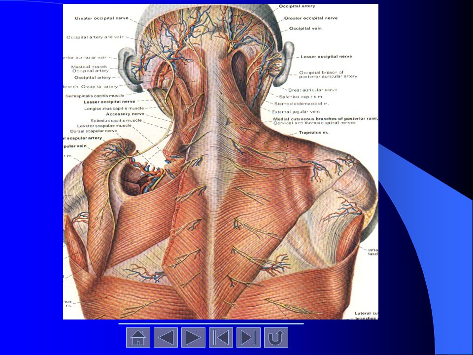 Identify and clean the levator scapulae and rhomboid minor and rhomboid major muscles.