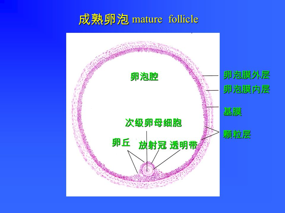 卵泡壁的颗粒层和卵泡膜 卵泡壁的颗粒细胞和卵泡膜的膜细胞 → 雌激素