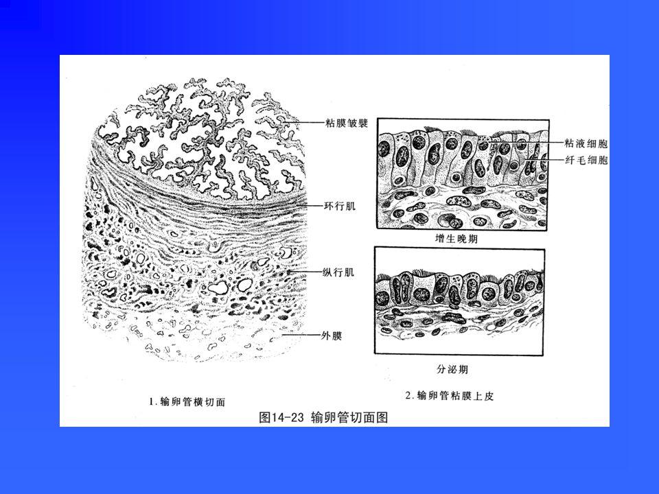 二、输卵管 分子宫部、峡部、壶腹部和漏斗部管壁由内向外分为: 粘膜:形成皱襞,使管腔不规则; 由单层柱状上皮和固有层构成; 由单层柱状上皮和固有层构成; 肌层:内环外纵行平滑肌 浆膜