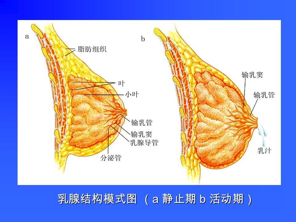 被结缔组织分隔为叶,每叶又分为若干小叶,每个小 叶为一个复管泡状腺。 被结缔组织分隔为叶,每叶又分为若干小叶,每个小 叶为一个复管泡状腺。 腺泡上皮为单层立方或柱状,有肌上皮细胞。 腺泡上皮为单层立方或柱状,有肌上皮细胞。 导管包括小叶内导管、小叶间导管和总导管,分别由 单层柱状上皮、复层柱状上皮和复层扁平上皮构成。 导管包括小叶内导管、小叶间导管和总导管,分别由 单层柱状上皮、复层柱状上皮和复层扁平上皮构成。 分静止期和活动期 分静止期和活动期 五、乳腺