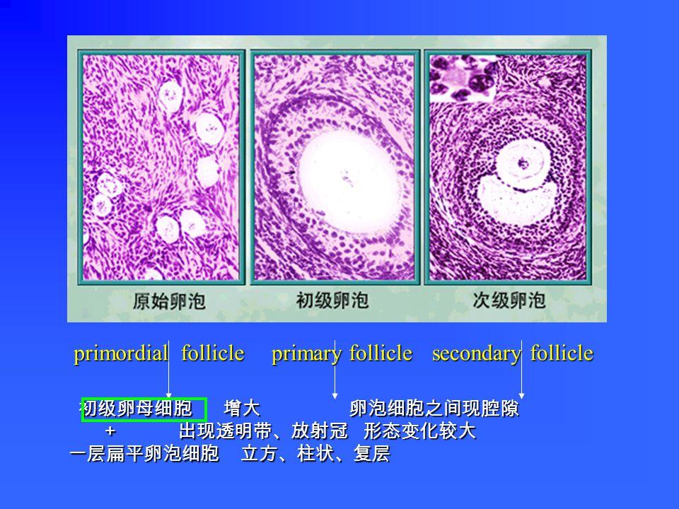初级卵母细胞 增大 卵泡细胞之间现腔隙 初级卵母细胞 增大 卵泡细胞之间现腔隙 + 出现透明带、放射冠 形态变化较大 + 出现透明带、放射冠 形态变化较大 一层扁平卵泡细胞 立方、柱状、复层 primordial follicle primary follicle secondary follicle