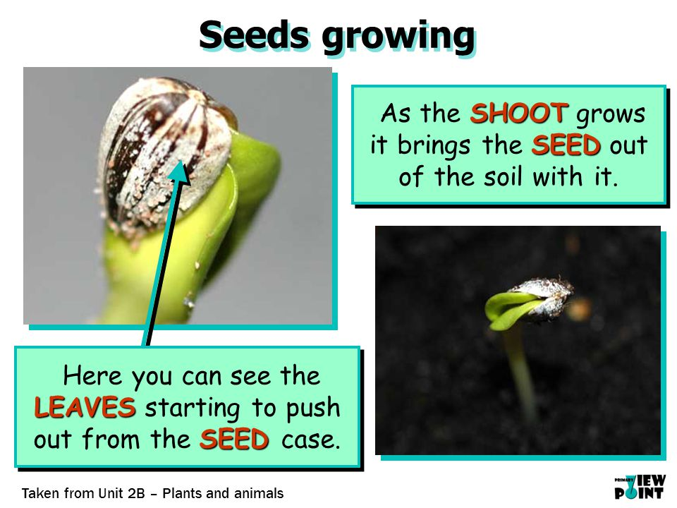 Seeds growing SHOOT SEED As the SHOOT grows it brings the SEED out of the soil with it.