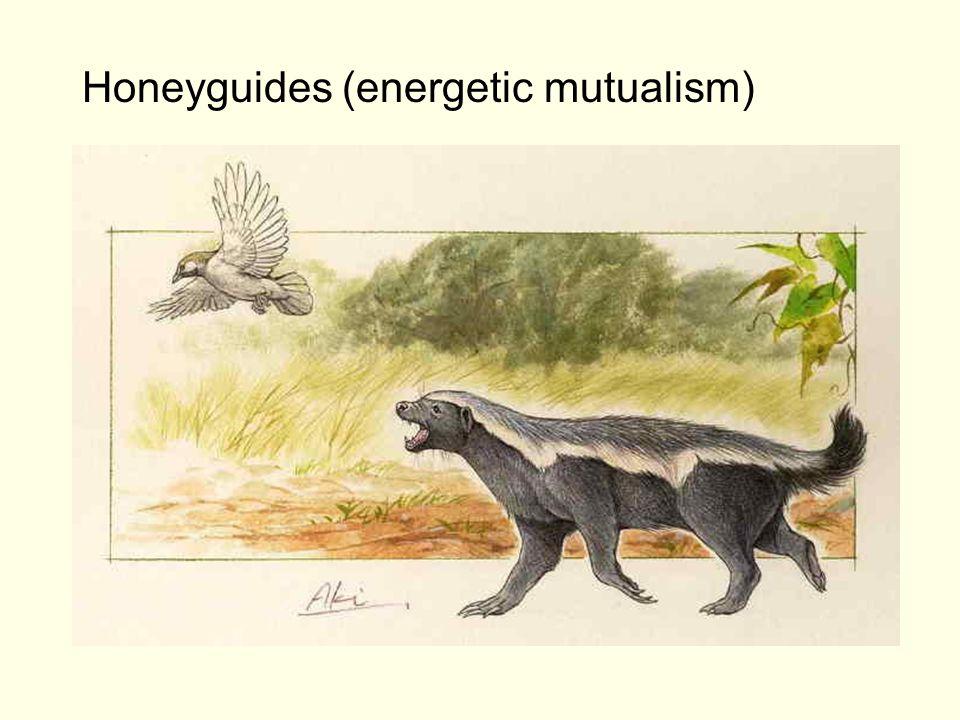 Honeyguides (energetic mutualism)
