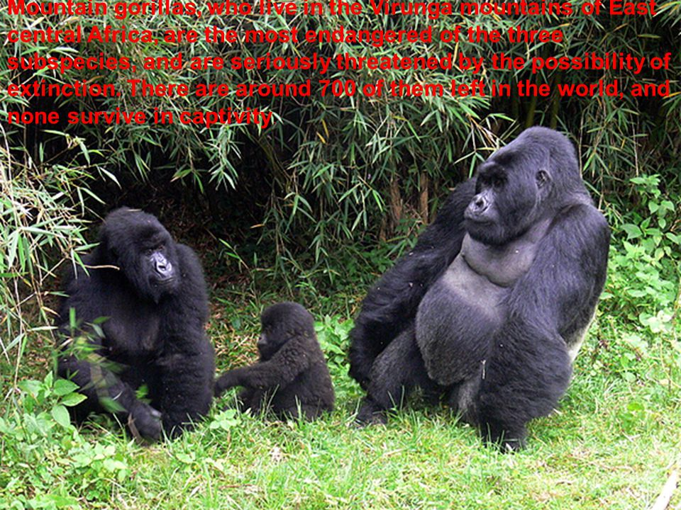 Mountain gorillas, who live in the Virunga mountains of East central Africa, are the most endangered of the three subspecies, and are seriously threatened by the possibility of extinction.