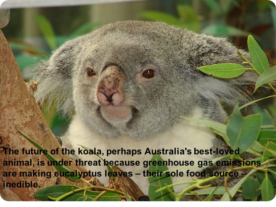 The future of the koala, perhaps Australia s best-loved animal, is under threat because greenhouse gas emissions are making eucalyptus leaves – their sole food source – inedible.