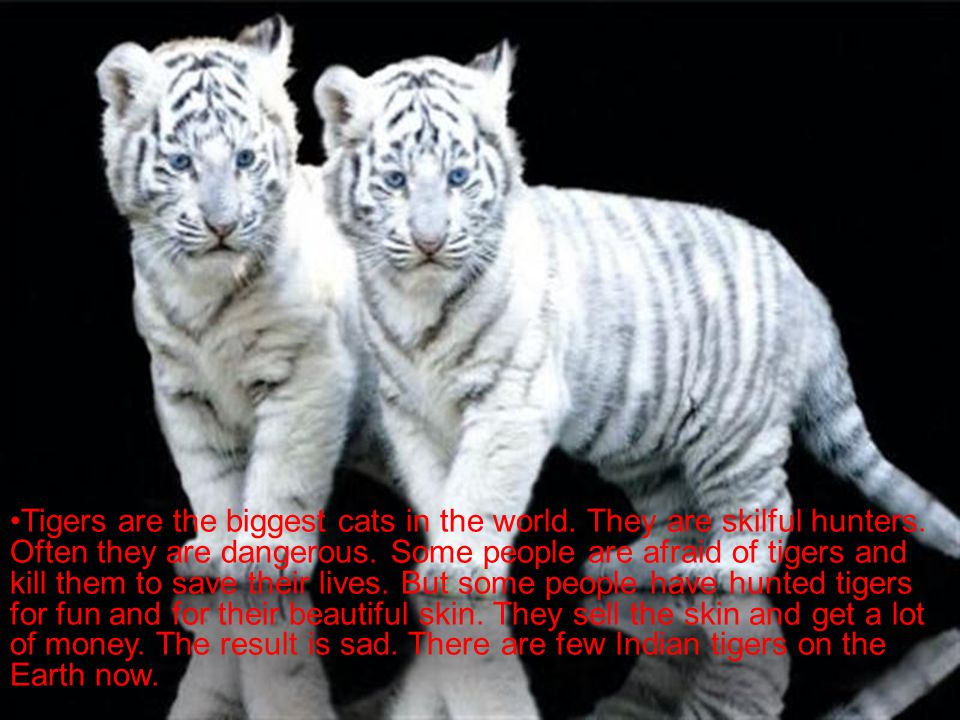 Tigers are the biggest cats in the world. They are skilful hunters.