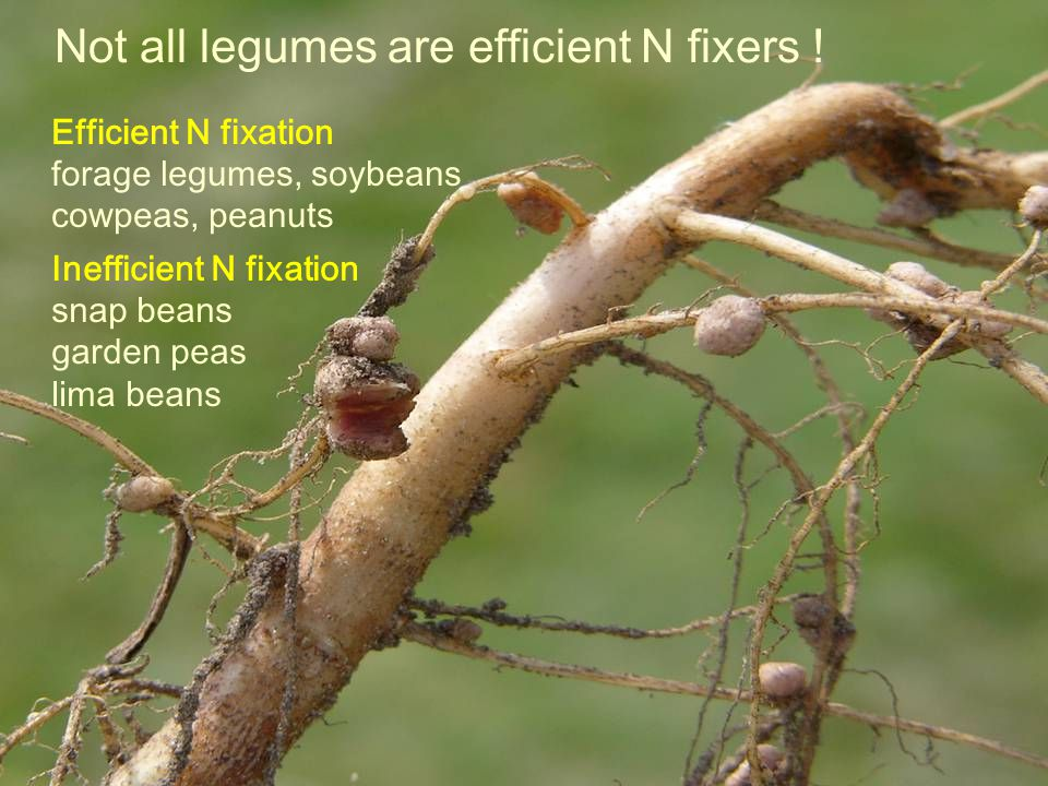 Not all legumes are efficient N fixers .