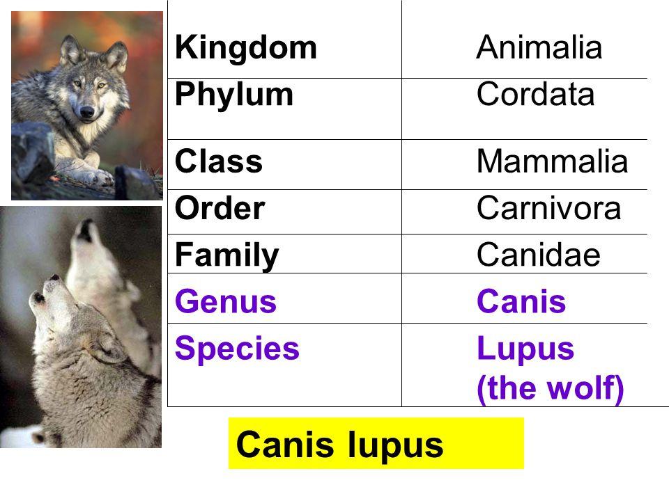 KingdomAnimalia PhylumCordata ClassMammalia OrderCarnivora FamilyCanidae GenusCanis SpeciesLupus (the wolf) Canis lupus
