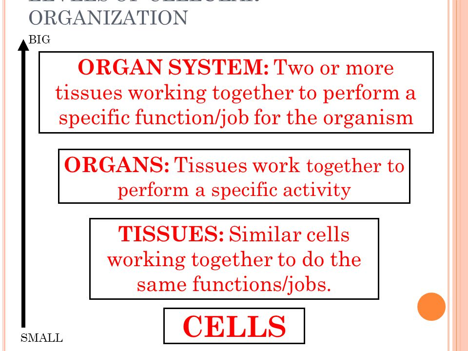 LEVELS OF CELLULAR ORGANIZATION CELLS TISSUES: Similar cells working together to do the same functions/jobs. ORGANS: Tissues work together to perform